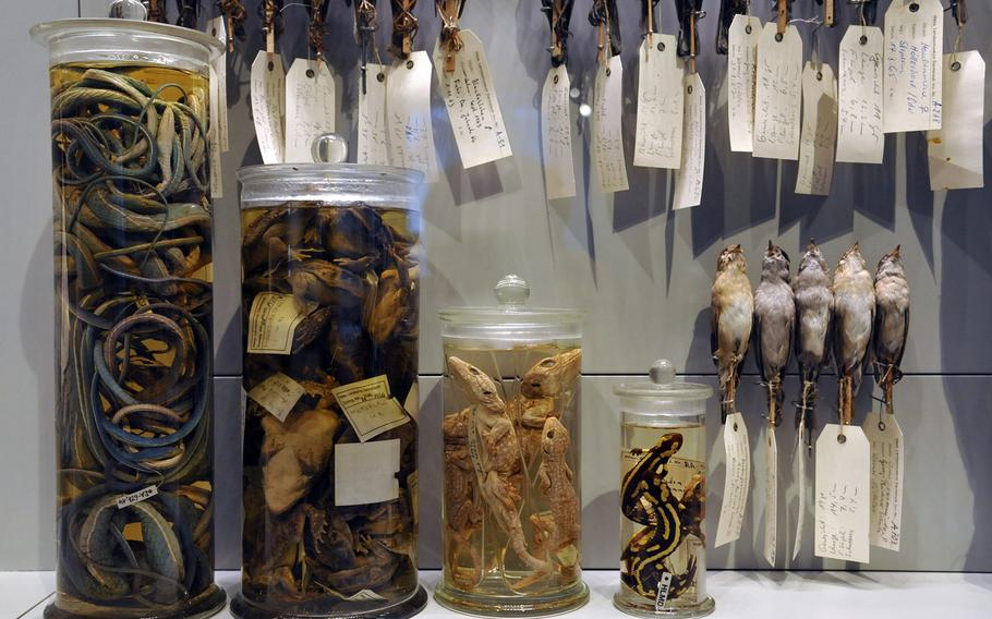 Preserved animals, used as a reference collection for identifying different species are on display in the zoology section of the Hesse State Museum in Darmstadt, Germany.