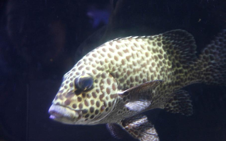 The Harlequin sweetlips is one of hundreds of fish found at the Waikiki Aquarium.