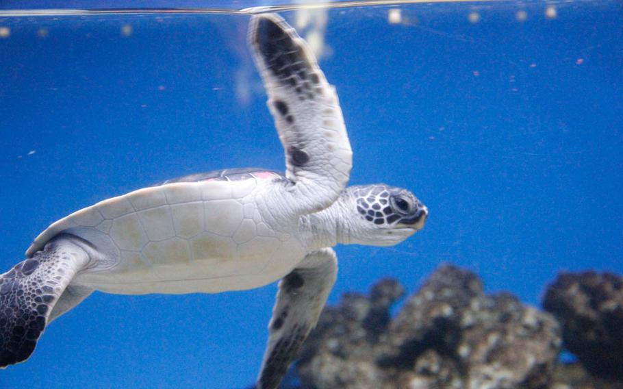 The Hawaiian green sea turtle never stops moving in its tank at the Waikiki Aquarium, just as it would constantly move in the wild in search of food.