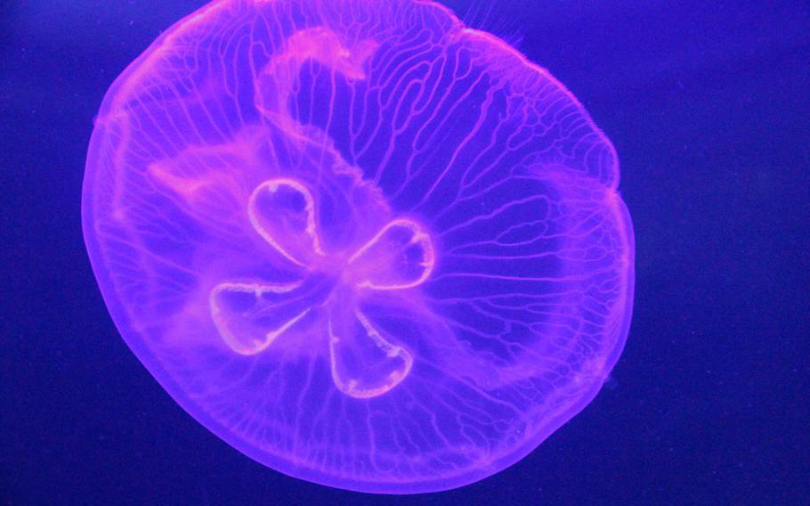 The aquarium's tank full of moon jellies looks like a living kaleidoscope.