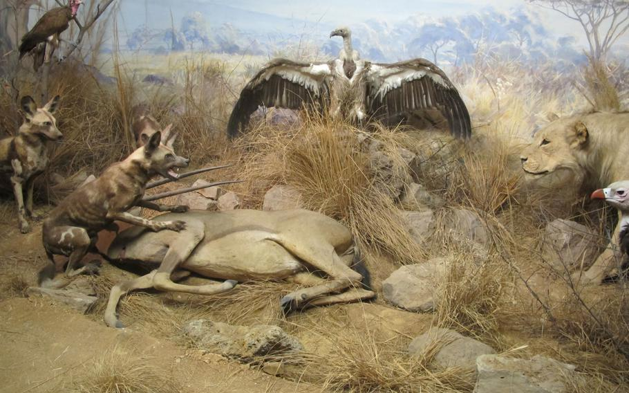 The State Museum of Natural History in Stuttgart, Germany, features re-creations of scenes from nature, such as this standoff between hyenas and a lion with an onlooking vulture. The museum, located in Rosenstein Park in northeastern Stuttgart, has one of the largest natural history collections in Germany.