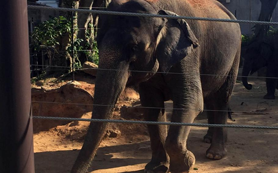 A Asian elephant and her baby (not visible) make their way toward an outbuilding where they will drink and bathe at the Okinawa Zoo and Museum in Japan.