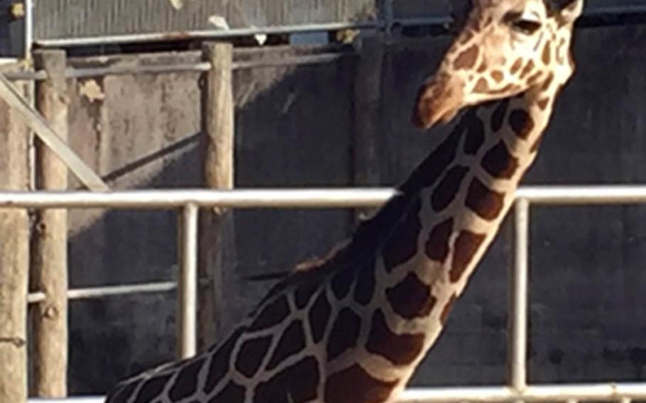 A giraffe takes a gander around at the Okinawa Zoo and Museum in Okinawa City, Japan.