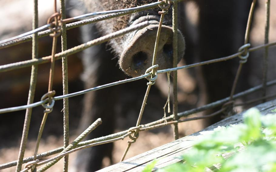 Guess who's snout this is? A wild boar sticks his nose up to the fence inside Wildpark Potzberg in Foeckelberg, Germany, hoping for a handout from a human. The park sells boxes of food pellets to feed the animals for 1 euro.