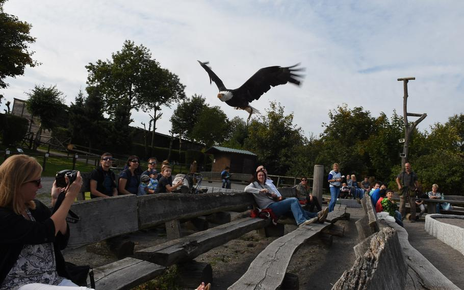 A bald eagle skims the crowd at at Wildpark Potzberg in Foeckelberg, Germany, during the park's daily flight show. The park maintains about 120 birds of prey, including two American bald eagles, named Obama and Air Force One.