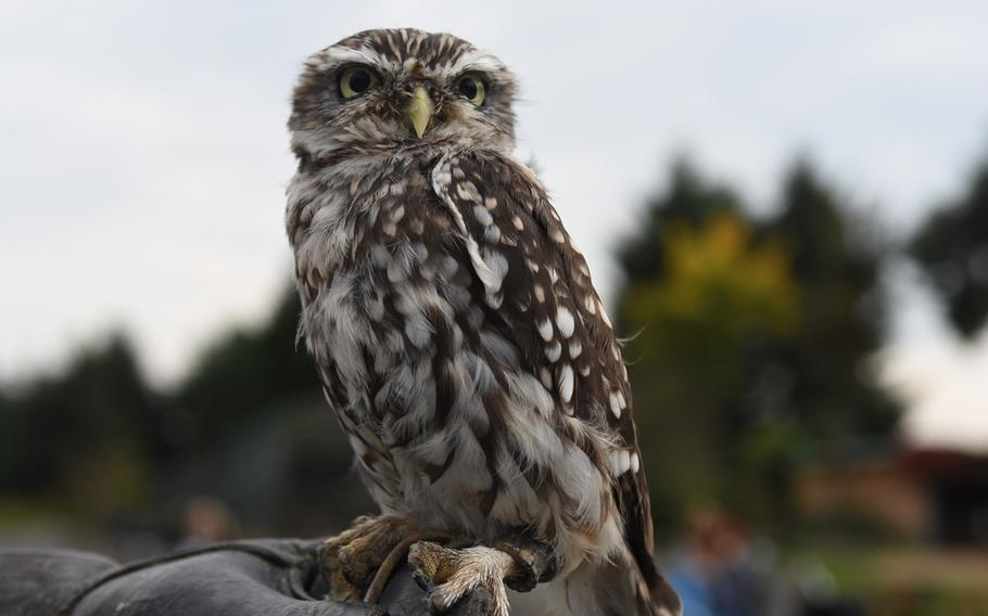 An aptly named little owl perches on the leather glove of a zookeeper at Wildpark Potzberg.