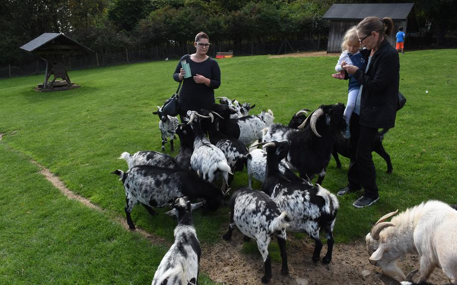 African dwarf goats vie for some free handouts at Wildpark Potzberg near Foeckelberg, Germany.