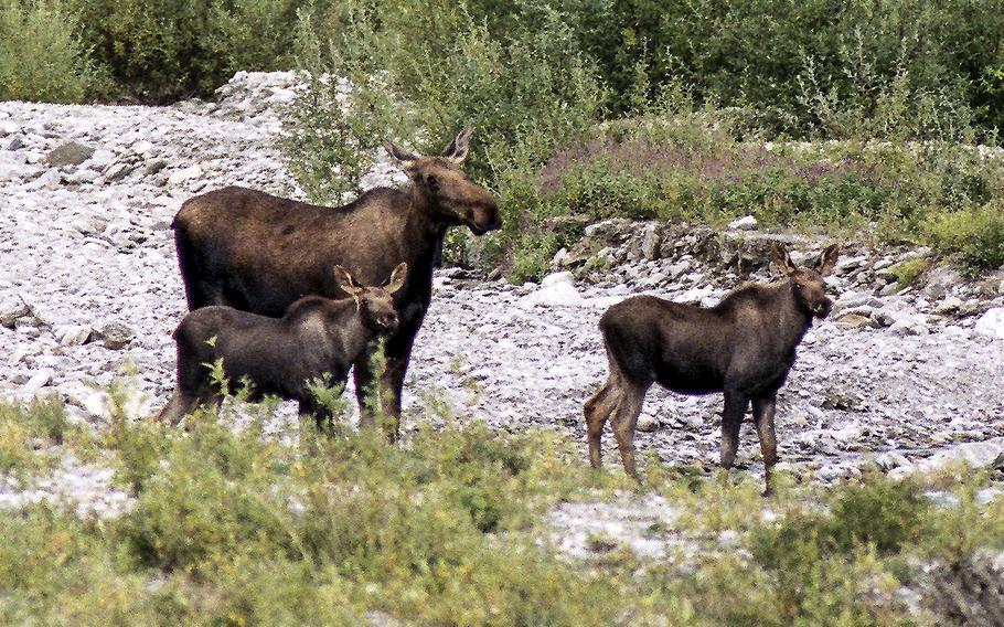 A moose family looks up at passing tourists in Alaska's Denali National Park. Such sights will now be less expensive for veterans and Gold Star families.